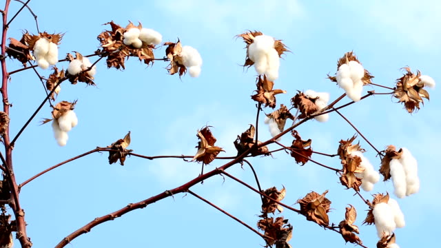cotton flower - branch plant part stock videos and b-roll footage
