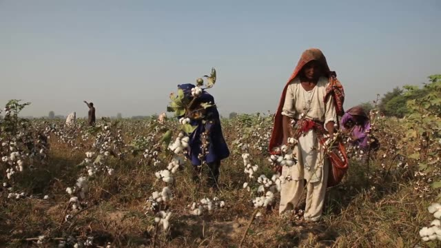 cotton grows on a farm in the district of lodhran punjab province pakistan on thursday oct 24 various shots women workers pick cotton by hand on a... - punjab pakistan stock videos and b-roll footage