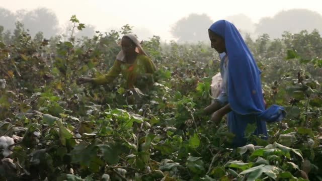 cotton grows on a farm in the district of lodhran punjab province pakistan on thursday oct 24 workers pick cotton on a farm a worker throws picked... - punjab pakistan stock videos and b-roll footage
