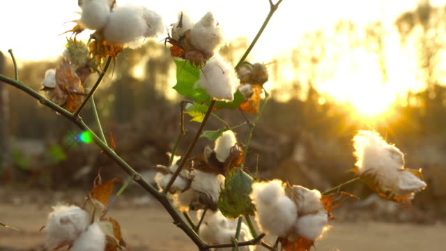 cotton harvesting - cotton bud stock videos & royalty-free footage