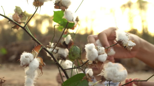 cotton harvesting - cotton ball stock videos & royalty-free footage