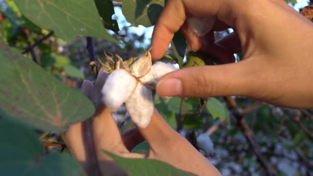 cotton harvesting - harvesting stock videos and b-roll footage