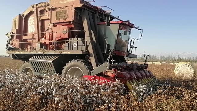 CHN: Cotton Harvest In China