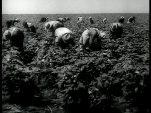 cotton pickers in the south, usa, in field. woman picking cotton from cotton plant in field. man unloading bag of cotton on flatbed of truck, workers. - cotton stock videos & royalty-free footage