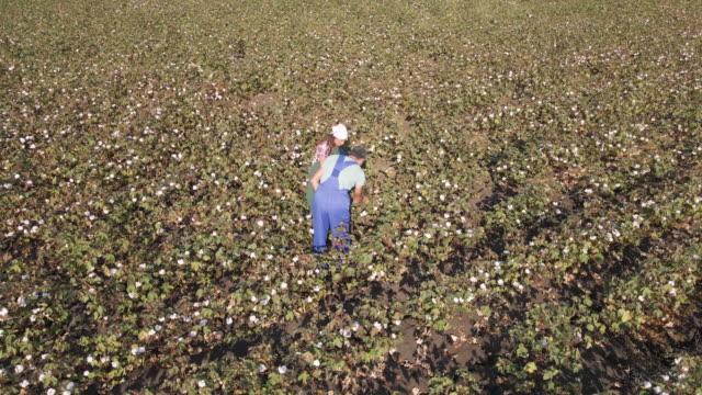 vidéos et rushes de saison de cueillette de coton. vue aérienne des fermiers travaillant dans un champ de coton en fleurs. évaluation de la récolte avant la récolte, sous une lumière dorée du coucher du soleil. travail d'équipe pendant la pandémie covide-19. - coton hydrophile