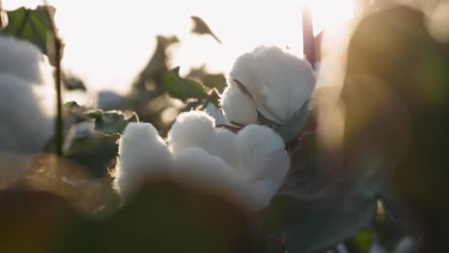 baumwoll-picking-saison. blühendes baumwollfeld. nahaufnahme der ernte vor der ernte, unter einem goldenen sonnenuntergang sam. - baumwolle stock-videos und b-roll-filmmaterial