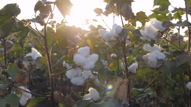 cotton picking season. blooming cotton field. close up of the crop before the harvest, under a golden sunset light. - cotton ball stock videos & royalty-free footage