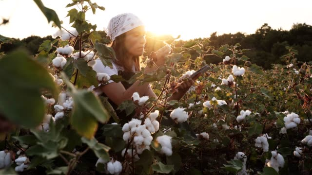 vídeos de stock e filmes b-roll de cotton picking season. blooming cotton field, young woman evaluates crop before harvest, under a golden sunset light. - orgânico