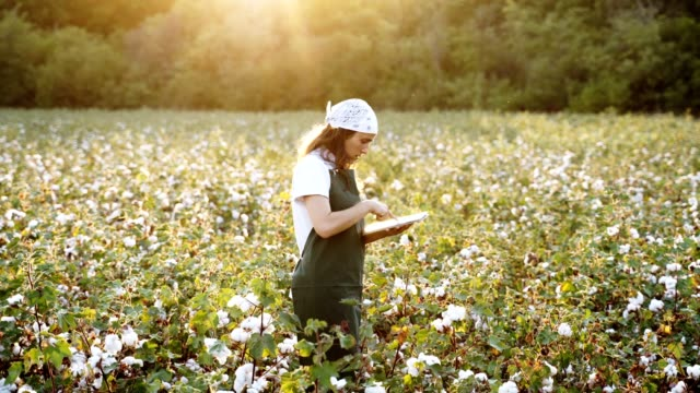 cotton picking season. blooming cotton field, young woman evaluates crop before harvest, under a golden sunset light. - cotton ball stock videos & royalty-free footage