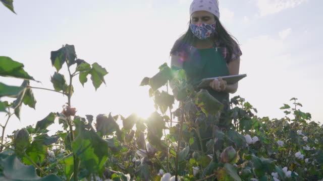 vidéos et rushes de saison de cueillette de coton. jeune femme d'agriculteur portant le masque protecteur tandis que travaillant pendant la pandémie de covid-19. évaluation de la récolte avant la récolte dans le champ de coton en fleurs, sous une lumière dorée de couc - coton hydrophile