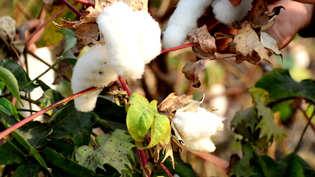 stockvideo's en b-roll-footage met cotton picking - katoen