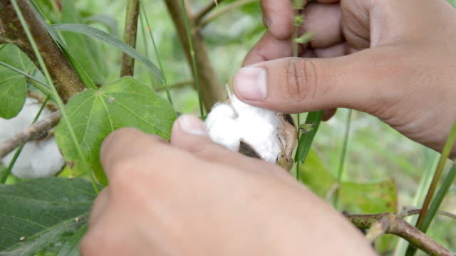 cotton picking - cotton ball stock videos & royalty-free footage