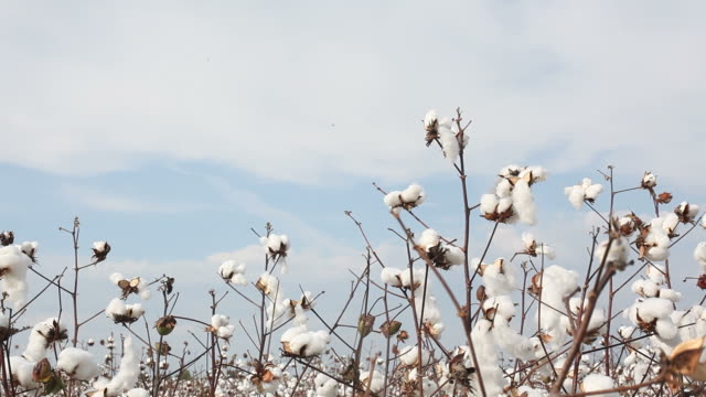 stockvideo's en b-roll-footage met cotton plant field on sky - katoen