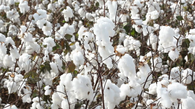 cotton plant field - cotton plant stock videos and b-roll footage