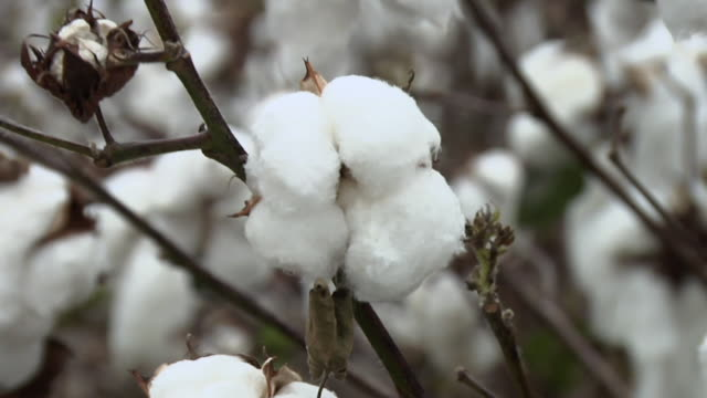 cu, zo, cotton plant in field, new church, virginia, usa - cotton stock videos & royalty-free footage