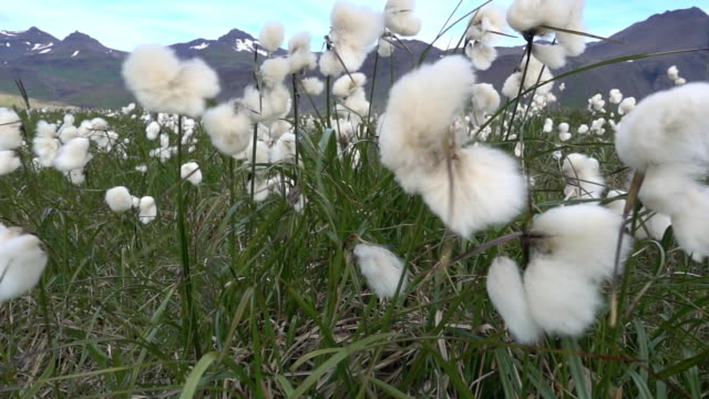 cotton plant meadow in high wind - baumwolle stock-videos und b-roll-filmmaterial