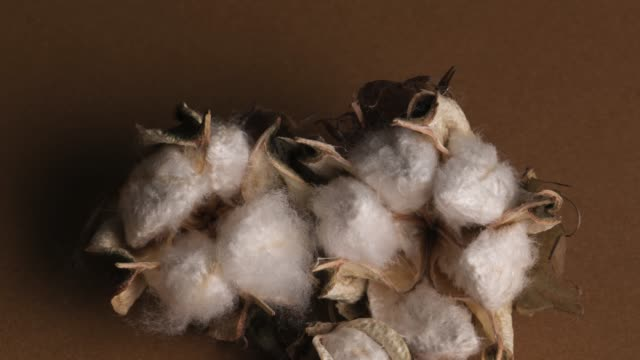 cotton plant over brown background - cotton ball stock videos & royalty-free footage