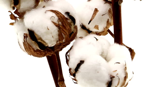 stockvideo's en b-roll-footage met cotton plant - macrofotografie
