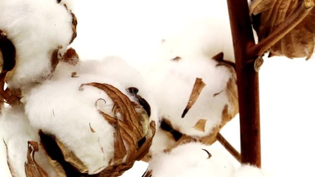 Cotton Plant