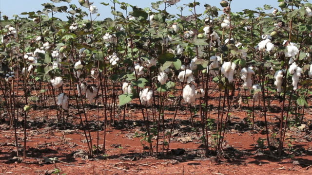 cotton plants - cotton stock videos and b-roll footage