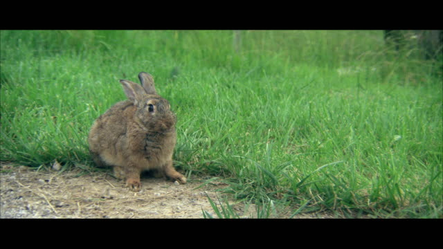 vídeos de stock, filmes e b-roll de cu cotton tail rabbit in grass - cottontail