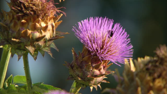cu cotton thistle (onopordum acanthium) flower / troutdale, oregon, usa - thistle stock videos & royalty-free footage