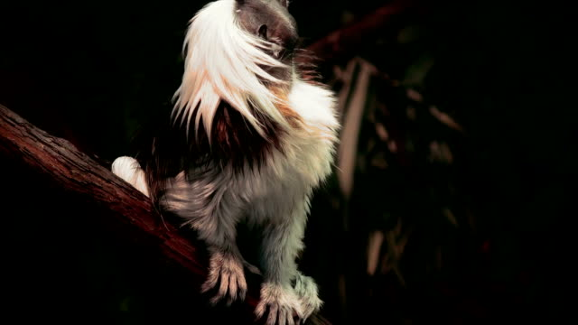 Cotton Top Tamarins