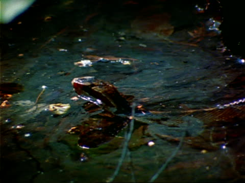 a cottonmouth moves through shallow swampy water. - swamp stock videos & royalty-free footage