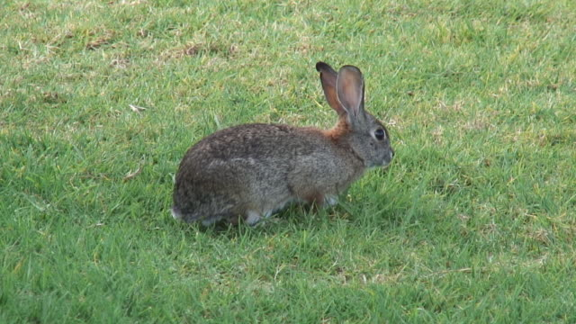 cottontail 4 - hd - cottontail stock videos & royalty-free footage