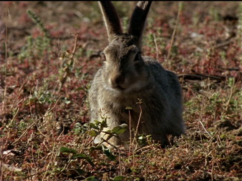 vídeos de stock, filmes e b-roll de a cottontail rabbit chews grass. - cottontail