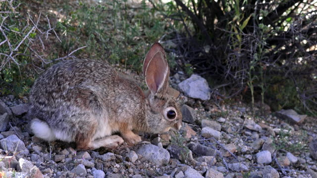 vídeos de stock, filmes e b-roll de cottontail rabbit eating weeds, joshua tree national park - cottontail