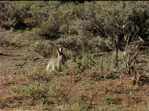 vídeos de stock, filmes e b-roll de a cottontail rabbit feeds on dry grasses. - cottontail