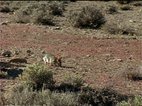 vídeos de stock, filmes e b-roll de a cottontail rabbit forages on dry grass. - cottontail