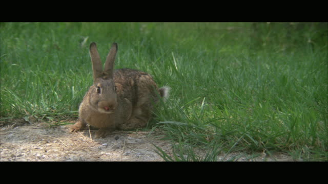 vídeos de stock, filmes e b-roll de ws cottontail rabbit in grass - cottontail