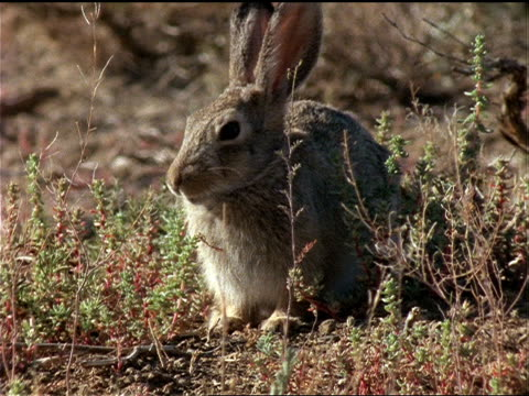 vídeos de stock, filmes e b-roll de a cottontail rabbit munches grass. - cottontail