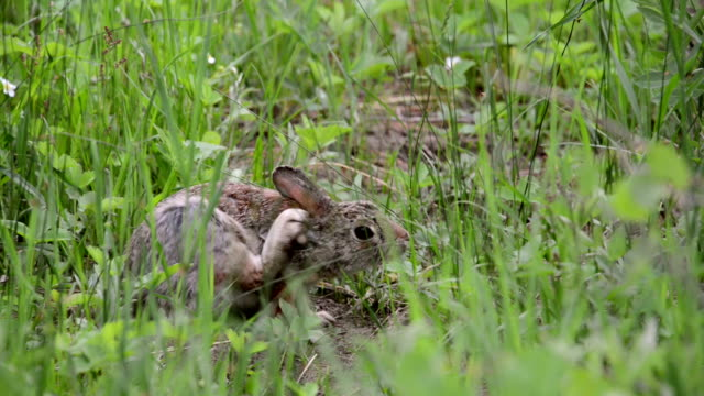 vídeos de stock, filmes e b-roll de cottontail rabbit scratches its ear in the grass and runs off - cottontail