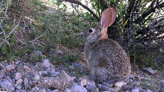 vídeos de stock, filmes e b-roll de cottontail rabbit sitting under bush, joshua tree national park - cottontail