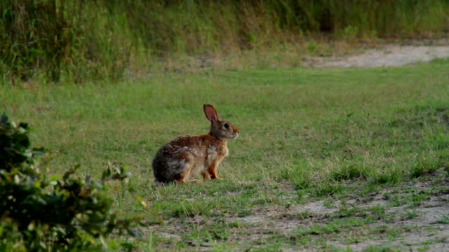 cottontail rabbit - rabbit animal stock videos and b-roll footage