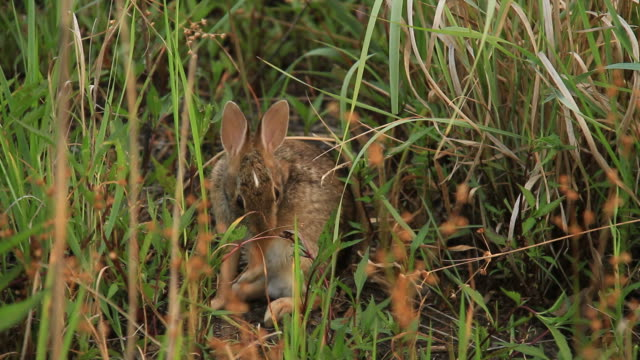 cottontail rabbit - cottontail stock videos & royalty-free footage