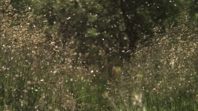 cottonwood (populus angustifolia) seeds drift through air, yellowstone, usa - seed stock-videos und b-roll-filmmaterial