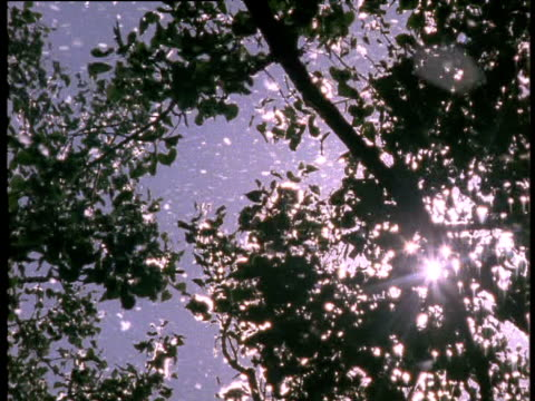 cottonwood trees shed masses of cotton into wind backlit with sunburst usa - cottonwood tree stock videos and b-roll footage