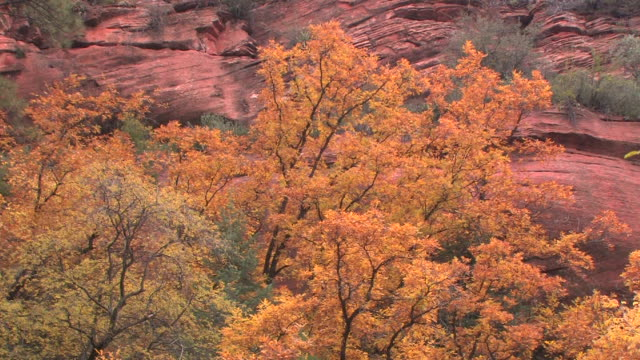 MS Cottonwood trees with fall leaves at bottom of rock wall/ Canyon de Chelly National Monument, Arizona