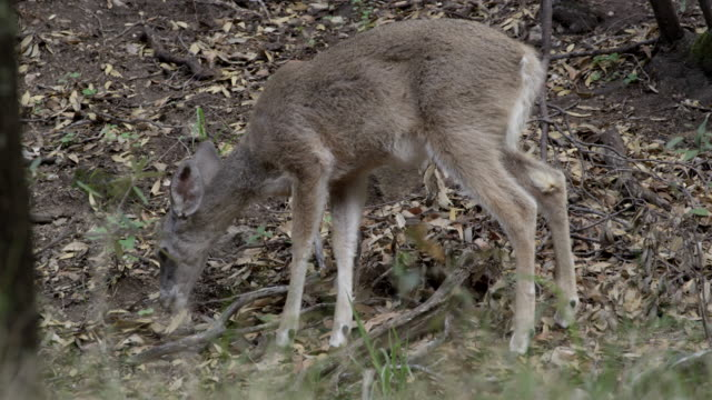 coues deer foraging in leaf litter by tree - foraging stock videos and b-roll footage