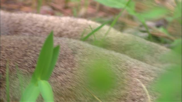 a cougar grooms itself in the underbrush. - 動物の足点の映像素材/bロール