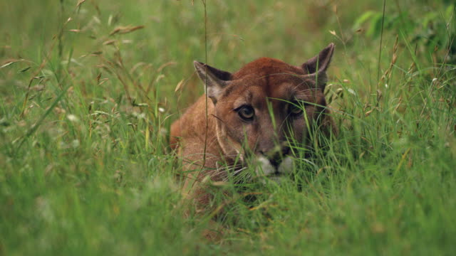 cougar hiding in grass - puma stock videos & royalty-free footage