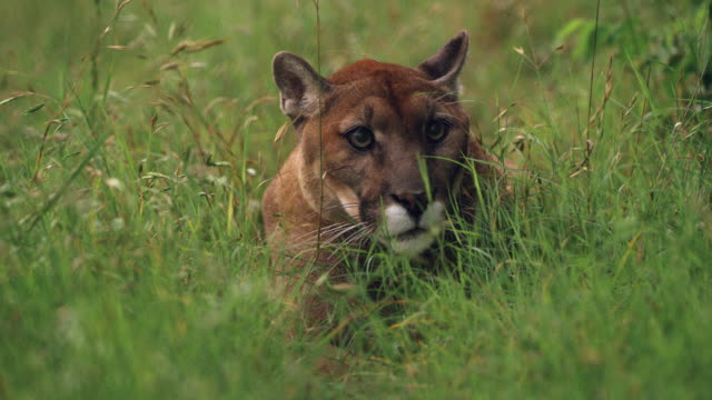 cougar hiding in grass - north america stock-videos und b-roll-filmmaterial