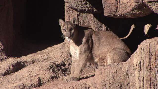 vídeos y material grabado en eventos de stock de ms cougar (puma concolor) laying on rock / tucson, arizona, usa - puma