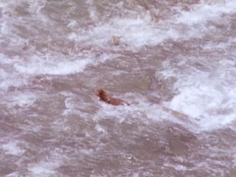 cougar wadding swimming river w/ rapids trying to cross reaching shore - puma felino selvatico video stock e b–roll