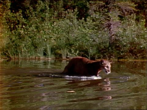 a cougar wades in waist deep water. - waist deep in water stock videos & royalty-free footage