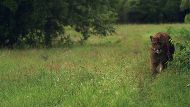 cougar walking in grass - mountain lion stock videos & royalty-free footage